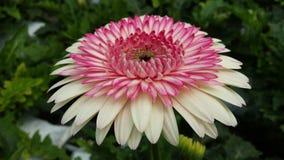 Weißes und rosa Gänseblümchen Stockfotos