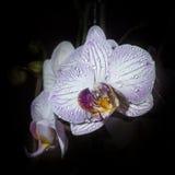 Weißes und rosa Orchis Stockbild