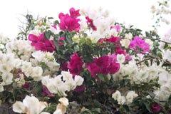 Weißes und rosafarbenes b des Bouganvillas Stockfotos