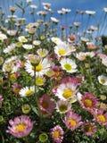Weißes und rosafarbenes Gänseblümchenblumenfeld, das den Himmel schaut Stockfotos