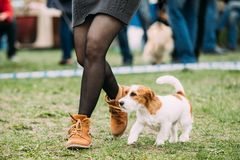 Weißes und rotes junges Rauhhaar Jack Russell Terrier Dog Running lizenzfreies stockfoto