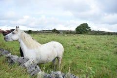 Weißes und schwarzes Pferd Stockbilder