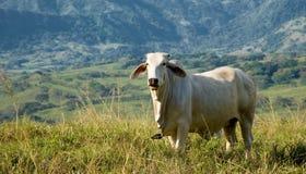Weißes Vieh, das auf dem Gebiet kaut Lizenzfreies Stockfoto