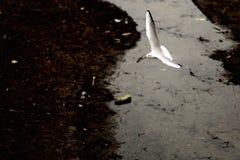 Weißes Vogelfliegen Stockbild