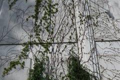 Weißes wal mit Rebe lizenzfreie stockfotografie