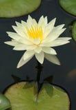 Weißes Wasser-Lilie. Lizenzfreie Stockfotos