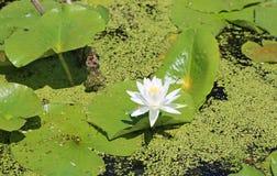 Weißes Wasser-Lilien-Blume stockfotografie