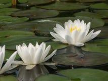 Weißes Wasser lillies Stockbild