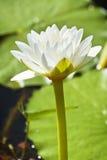 Weißes Waterlily Lizenzfreies Stockbild