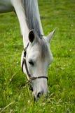 Weißes weiden lassendes Pferd Stockbild