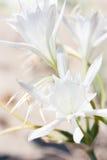 Weißes wildes der Lilie Lizenzfreie Stockfotos