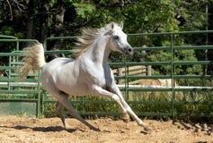 Weißes wildes Pferd Stockbild
