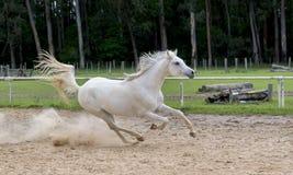 Weißes wildes Pferd stockfotos