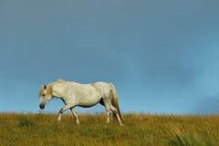 Weißes wildes Pferd Lizenzfreie Stockfotos