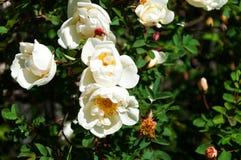 Weißes wildes stieg in den Garten lizenzfreies stockbild