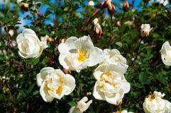 Weißes wildes stieg in den Garten Lizenzfreie Stockbilder