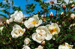 Weißes wildes stieg in den Garten Lizenzfreies Stockfoto