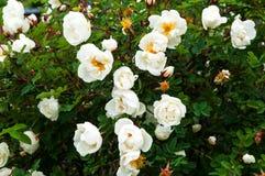 Weißes wildes stieg in den Garten Lizenzfreie Stockfotografie