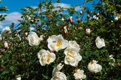 Weißes wildes stieg in den Garten Lizenzfreie Stockfotos