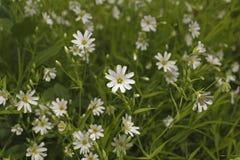 Weißes wildflowers2 Stockbilder