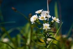 Weißes Wildflowers Achillea-ptarmica auf Rebun-Insel, Japan Stockbilder