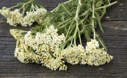 Weißes Yarrow Achillea-millefolium Lizenzfreies Stockbild