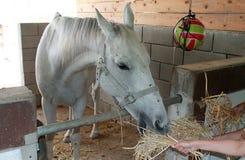 Weißes zahmes Pferd, das Heu in einem Stall isst lizenzfreie stockfotos