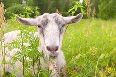 Weißes Ziegen-Porträt-Vieh Stockbilder