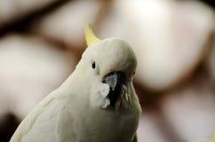 Weißhaubenkakadu Stockbild