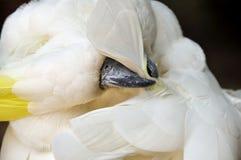 Weißhaubenkakadu verbiegt Kopf, um zu säubern Stockbilder