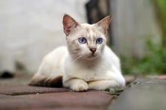 Weißkatze der blauen Augen Lizenzfreie Stockbilder