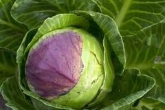 Weißkohl in im organischen Gemüsegarten. stockbilder