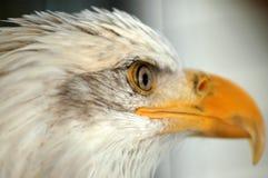 Weißkopfseeadler Lizenzfreie Stockfotos