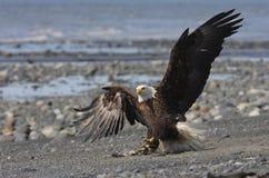 Weißkopfseeadler Stockfotografie