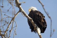 Weißkopfseeadler Lizenzfreie Stockfotografie