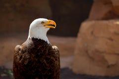 Weißkopfseeadler Stockbild