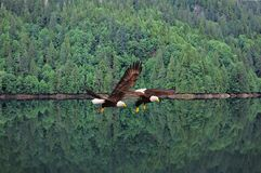 Weißkopfseeadler. Stockbilder