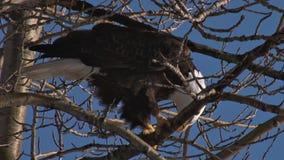 Weißkopfseeadler auf Baumasten stock footage