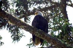 Weißkopfseeadler auf der Niederlassung eines gezierten Baums, der unten schaut Lizenzfreies Stockfoto