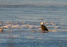 Weißkopfseeadler auf Eis Stockbild