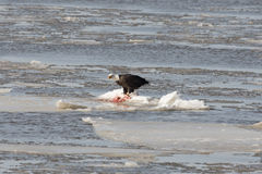 Weißkopfseeadler auf Eis Lizenzfreie Stockfotografie