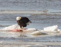 Weißkopfseeadler auf Eis Lizenzfreie Stockbilder