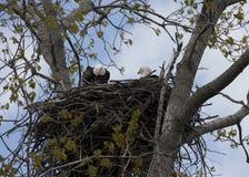 Weißkopfseeadler auf Nest Stockfotografie
