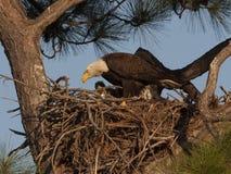 Weißkopfseeadler auf Nest in der Kiefer in zentralem Westflorida Lizenzfreie Stockbilder
