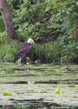 Weißkopfseeadler auf Teich, Cadillac, Michigan Lizenzfreies Stockfoto