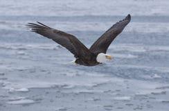 Weißkopfseeadler, der über die Bucht in Homer, Alaska fliegt Stockfotos
