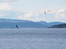 Weißkopfseeadler, der über die Wasseroberfläche umgeben durch Seemöwen fliegt Stockfoto