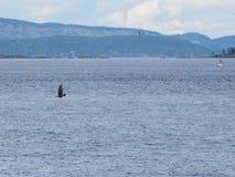 Weißkopfseeadler, der über die Wasseroberfläche umgeben durch Seemöwen fliegt Lizenzfreie Stockfotos