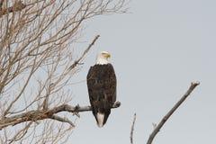 Weißkopfseeadler, der auf einem Baumast schaut rechts steht Stockfotos