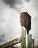 Weißkopfseeadler, der auf einem Zaun, großartiges Teton steht Stockbild